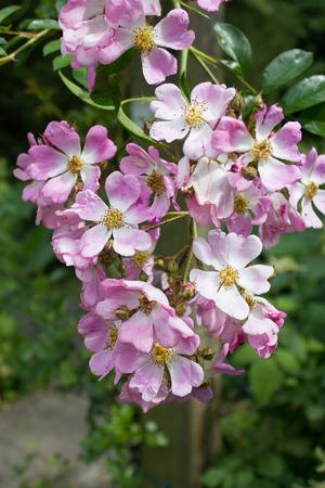 rosa: Many-flowered rose (Rosa multiflora ssp. adenochaeta) in pink, close-up