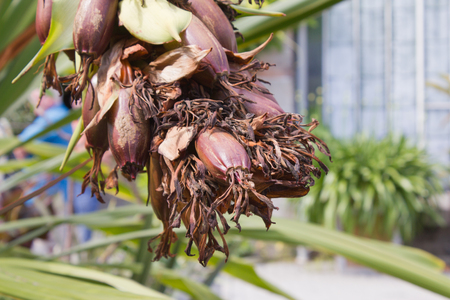 Giant spear lily (Doryanthes palmeri), exotic plant, close-up