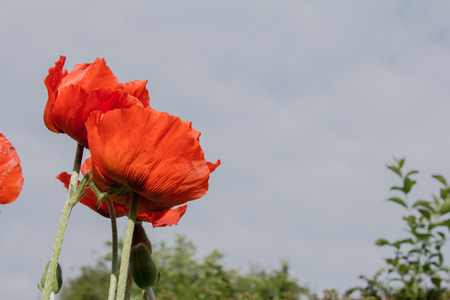Opium poppy papaver somniferum is a plant from the family of opium poppy papaver somniferum is a plant from the family of the poppy family mightylinksfo