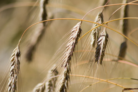 secale: Rye (Secale cereale), golden color, close-up