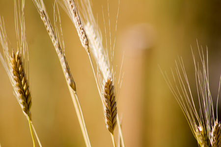 Immature einkorn (Triticum monococcum) in a field in Goettingen , Germany . A healthy cereal .