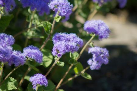 visone: visone Blu (Ageratum houstonianum), primo piano