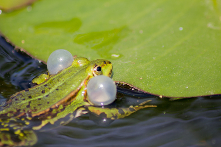 lily pad: Little frog sitting on a lily pad in a pond