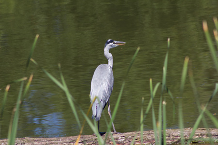 the distinguished: The Great Blue Heron or Heron ( Ardea cinerea ) is a species of the order Ciconiiformes ( Ciconiiformes ) . It is widely distributed in Eurasia and Africa and often . Worldwide four subspecies are distinguished. In Central Europe, it is represented with t