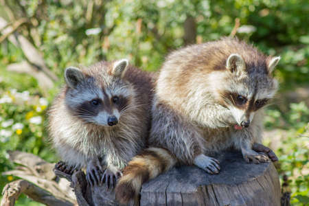 The raccoon is an omnivore, originally also from North America and is now also a small nuisance in central Germany. Stock Photo