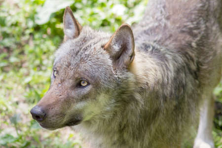 The european wolf (Canis lupus) is currently the largest predator of the canine family (Canidae) Stok Fotoğraf