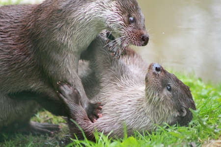 Two Eurasian otters (Lutra lutra) playing and fighting