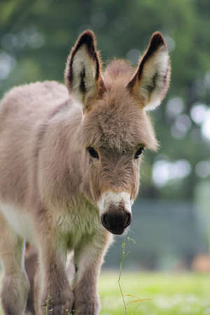 The domestic donkey (Equus asinus asinus) is a common domestic animal around the world.