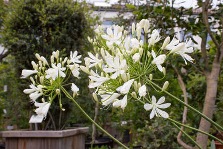 """Agapanthus africanus """"Albus"""", white African African Lily"""