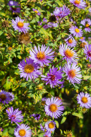 The New Belgian aster is also called New Belgium autumn aster or smooth-leaf aster.