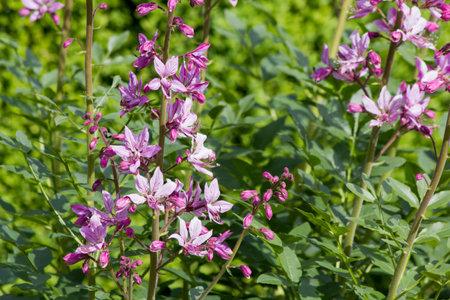 Diptame (Dictamnus albus) in a botanical garden