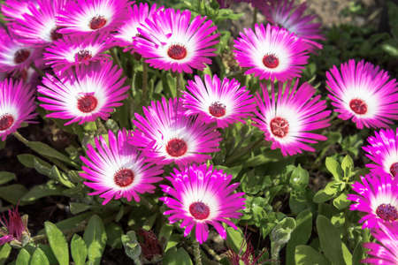 Close-up of pink ice plants in a garden