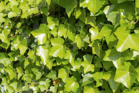Background full of ivy leaves