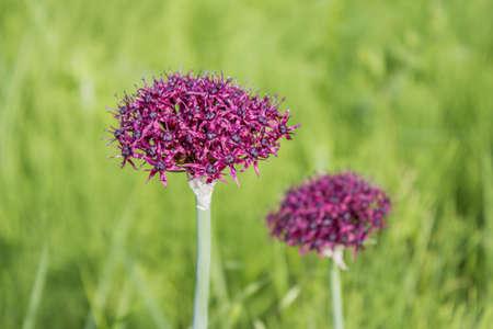 Purple color ornamental onion (Allium bulgaricum) in a botanical garden