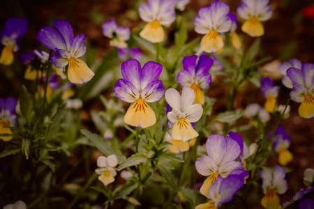 Horn violets (Viola tricolor), flowered in a garden Reklamní fotografie