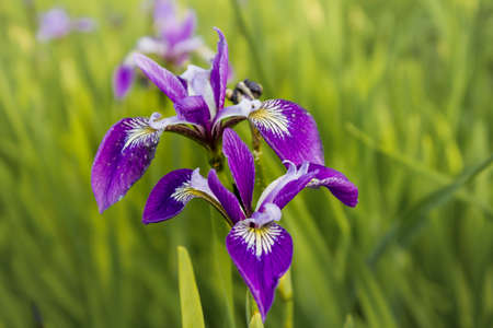 Colored flowered irises in the grass