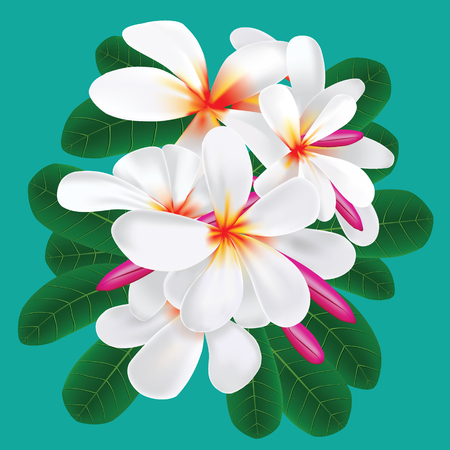 Vector of Plumeria flower in realistic gradient mesh illustration