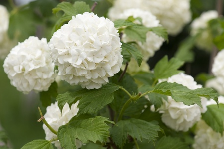 Beautiful white hydrangea bush.  Selective focus.