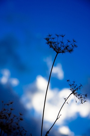 Silhouette of flowers against blurred blue sky background Stock Photo