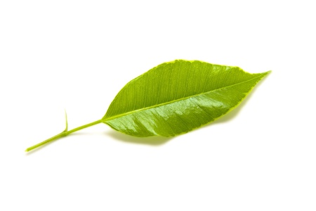 Fresh green leaf isolated on white background. Stock Photo - 11084022