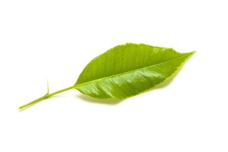 Fresh green leaf isolated on white background. Stock Photo