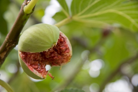 Close-up shot of an opened fig on its branch.