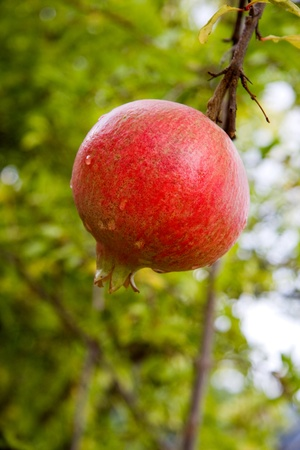 Pomegranate on its branch
