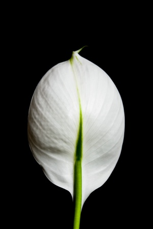 A single white flower isolated on black background.