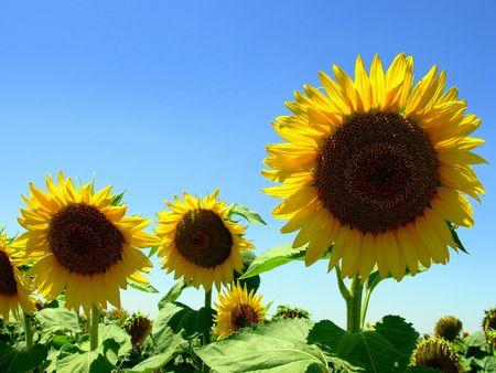 Sunflower II photo