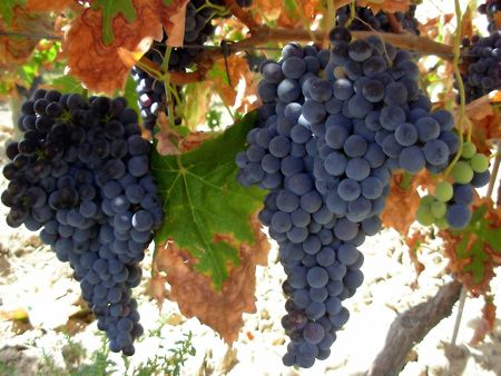Grapes of the Alentejo region in the South of Portugal Stok Fotoğraf
