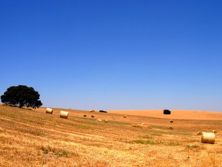 dispersed: Typical landscape of the Plain of the Alentejo, with vast opened fields, of wheat, with some dispersed trees for the immense region.