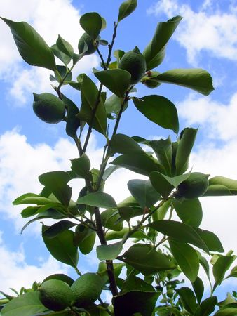 lemon tree branch photo
