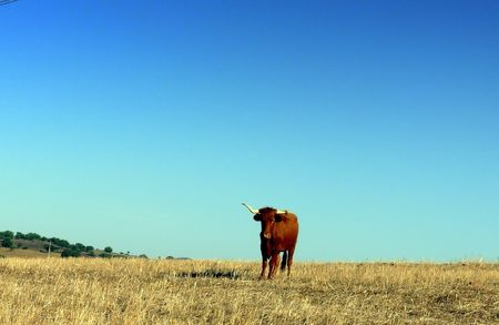 Solitary cow in the immense plain of the Alentejo, South of Portugal. photo