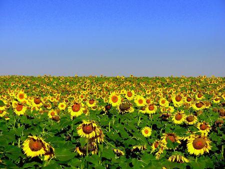 Field of sunflowers  in the region Alentejo, Portugal Stok Fotoğraf