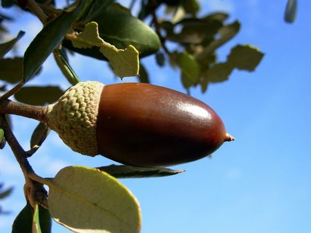 Mature oak acorn and blue sky photo