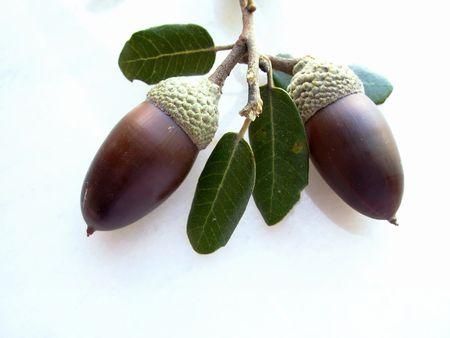 Mature oak acorn and white deep Stock Photo - 653486