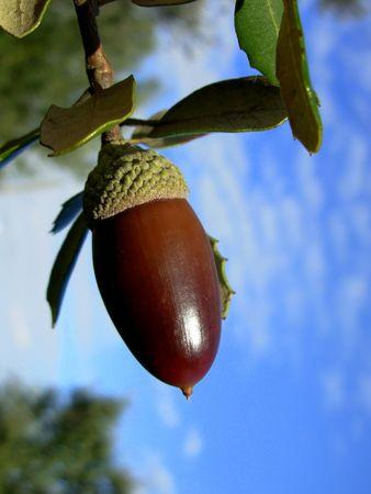 Mature oak acorn and blue sky Stock Photo - 653484