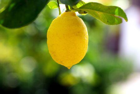 lemon tree: t�pico color amarillo lim�n en el �rbol de lim�n