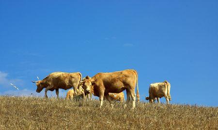 Some cows graze in the dry field of the Alentejo, Portugal. photo