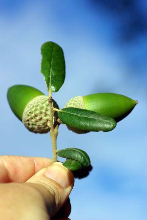germination: Un seguro de bellotas rama entre los dedos.