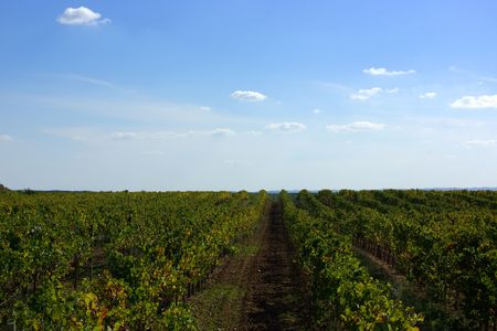portugal agriculture: Autumn  vines in the vineyards at Portugal. Stock Photo