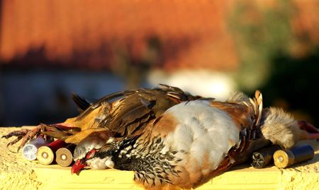 Two abated partridges during one hunted. Stock Photo