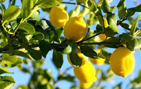 Lemons growing on lemon tree. Stok Fotoğraf