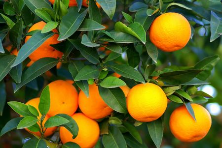 Green leaves and  Mmature oranges on the tree. Stock Photo