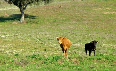 A cow in the field with its son. photo