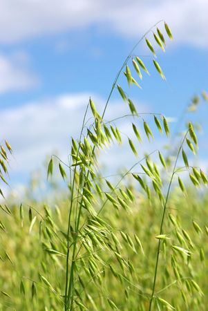 chaff: Oats spikes in the Spring with the sky in deep. Stock Photo