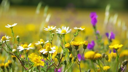 Wild flowers in the field of Portugal. photo
