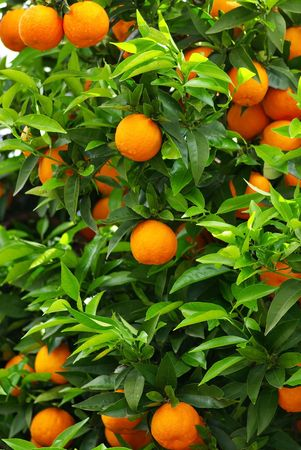 growers: Green leaves and mature oranges on the tree. Stock Photo