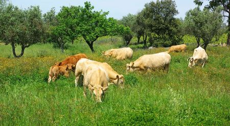 The cows  in the green field. Stock Photo - 2997276