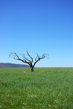 abandoning: Old tree alone and abandoning in a field of Portugal.